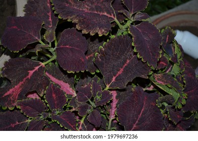 Coleus is a genus of annual or perennial herbs or shrubs,sometimes succulent, sometimes with a fleshy or tuberous rootstock. Lamiaceae.Cultivated as ornamental plants for its brightly coloured foliage - Shutterstock ID 1979697236