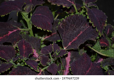 Coleus is a genus of annual or perennial herbs or shrubs,sometimes succulent, sometimes with a fleshy or tuberous rootstock. Lamiaceae.Cultivated as ornamental plants for its brightly coloured foliage - Shutterstock ID 1979697239