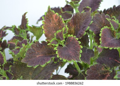 Coleus is a genus of annual or perennial herbs or shrubs,sometimes succulent, sometimes with a fleshy or tuberous rootstock. Lamiaceae.Cultivated as ornamental plants for its brightly coloured foliage - Shutterstock ID 1988836262