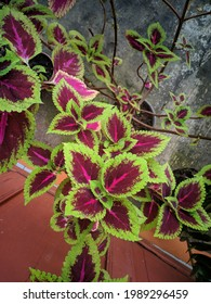 Coleus is a genus of perennial or perennial plants or shrubs, sometimes succulent, sometimes with fleshy or tuberous rootstocks, found in tropical and subtropical regions - Shutterstock ID 1989296459