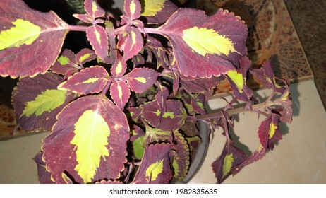Coleus is a genus of perennial or perennial, sometimes succulent, sometimes with fleshy or tuber rootstock - Shutterstock ID 1982835635
