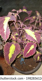 Coleus is a genus of perennial or perennial, sometimes succulent, sometimes with fleshy or tuber rootstock - Shutterstock ID 1982836124