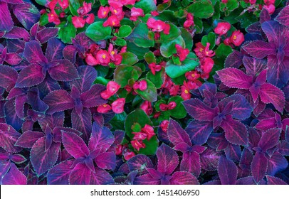 Coleus hybrid. Background with purple leaves of coleus. Flower design.