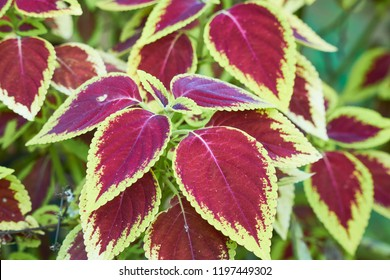 Coleus Leaves, Colorful Leaves