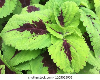 Coleus leaves on display
