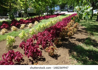Coleus leaves planted in the park.