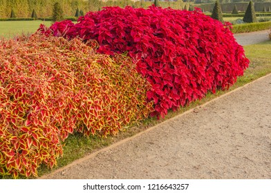 The coleus is native to Asia and Africa. In Italy it is cultivated mainly as a houseplant, for the beauty of its leaves which are showy and colored /a colorful hedge of Coleus plants in a garden