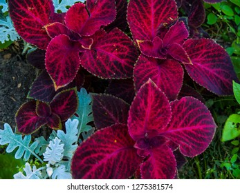 Coleus on greenery background. Purple coleus top view image. Pink and green leafy plant photo. Purple enging plant. Botanical photo. Wedding or greeting postcard. Sping and summer season