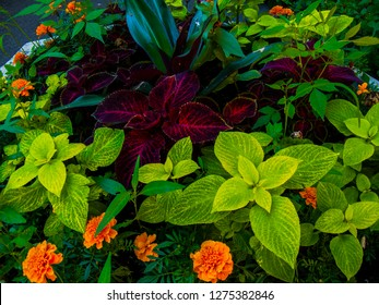 Coleus on greenery background. Purple and yellow coleus image. Violet and green leafy plant photo. Purple enging plant. Botanical photo. Wedding or greeting postcard. Sping and summer season