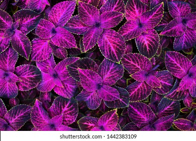 Coleus pink and black leaves decorative background close up, painted nettle flowering plant, bright purple foliage texture, fuchsia color abstract natural pattern, colorful floral design, copy space