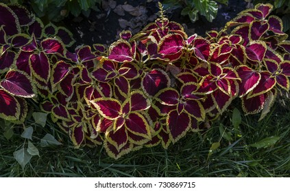 Coleus. Coleus plant background. Red yellow colored coleus plant.