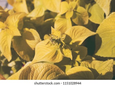 Coleus. Coleus plant background.  Yellow leaves of Coleus.