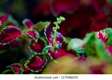 Coleus plant  is blooming. Red and green leaves of the coleus plant, Plectranthus scutellarioides. Focus concept. Space for text. Botanical illustration