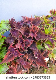 Coleus plant is a genus of perennial herbs or shrubs, sometimes succulent, sometimes with a fleshy or tuberous rootstock, found in the Old World tropics and subtropics - Shutterstock ID 1983873833