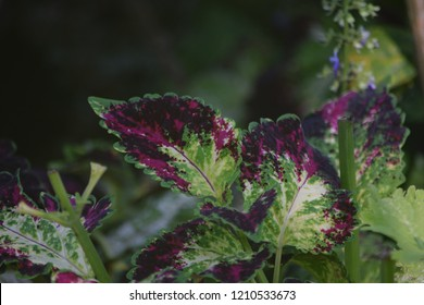 Coleus Plant Leaves