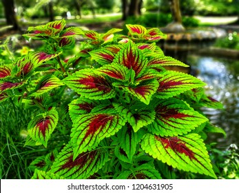 Coleus Rainbow, Fire Coleus, Green and Pink Coleus