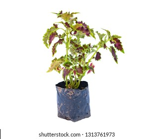 Coleus scutellarioides tree in bag on white background and clipping path
