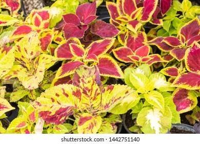 Coleus varieties with red leaves and green leaves, gradient colors