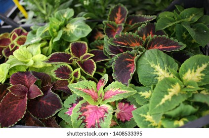 Coleus. Variety of coleus plants. Coleus is a former genus of flowering plants in the family Lamiaceae. Coleus Rainbow, Fire, Green and Pink. Floral pattern. Sales.
