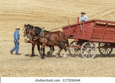 Colfax, Washington USA - 09-03-2018. Editorial photo of men driving draft horses to pull a wagon at the annual Colfax threshing bee in Colfax, Washington on September 3, 2018