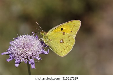 Colias crocea, Common Clouded Yellow, The Clouded Yellow butterfly from France, Western Europe