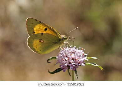Colias crocea, Dark Clouded Yellow, Common Clouded Yellow butterrfly from Europe