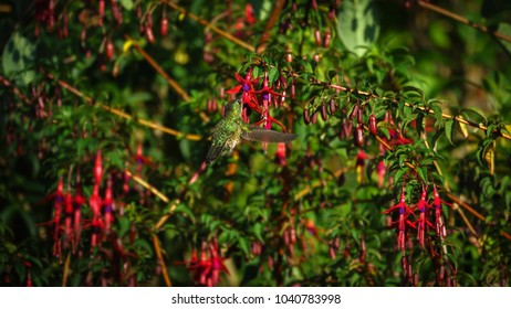 "Colibri or ""Pica Flor Rubi"" posing in the air and feeding on the nectar of the flowers of El Chilco (Fuchsia magellanica). Patagonian vegetation."