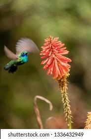 Colibri Hummingbird, La Montana, Salento, Quindio Department, Colombia