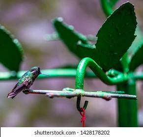 Colibris in Monteverde, Costa Rica