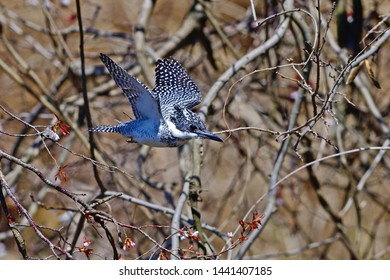 Collaboration of flying Crested kingfisher (Yamasemi) and wild cherry blossoms