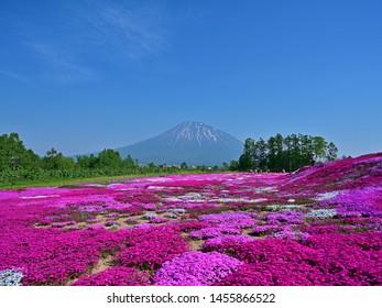 Collaboration scene of Mt. Yotei and Moss Pink (Shibazakura) in full bloom at Hokkaido