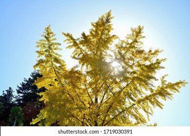 Collaboration of Yellow leaves of Ginkgo (Icho) and striation