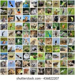 Collage of 100 photos of wildlife. Animals and birds
