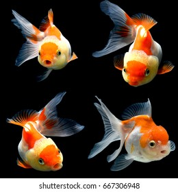 collage of 4 gold fish isolated on black background