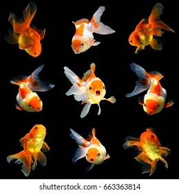 collage of 9 gold fish isolated on black background