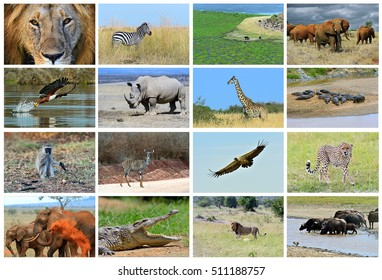 Collage of animals in the African savannah, Kenya