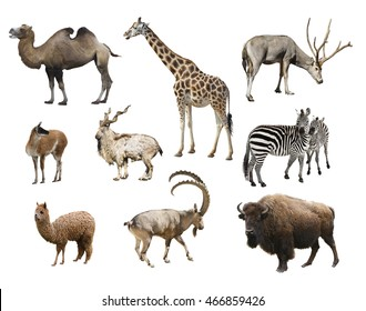 A collage of animals mammals artiodactyla