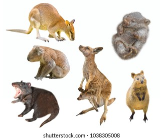 Collage of Australian marsupial mammals, isolated on white background. Wallaby, Tasmanian Devil, Wombat, Kangaroo with Joey, Quokka and Koala.