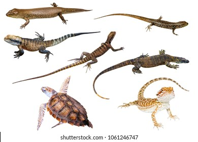 Collage of Australian reptiles, isolated on white background. King's skink, Eastern Water Skink, Water Dragon male and female, Komodo dragon, Green Sea Turtle and Pogona Vitticeps on white background.