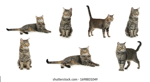 Collage of beautiful tabby cat on white background. Lovely pet