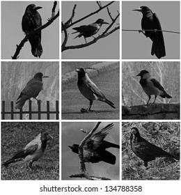 collage with black and white photos of ravens