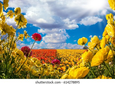 Collage. Concept of rural tourism. The southern warm sun illuminates the flower fields of red and yellow garden buttercups- ranunculus. Wind drives the clouds