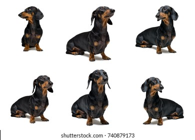 collage of cute dog dachshund, black and tan, isolated on white background