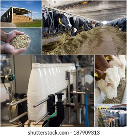 Collage of dairy industry process from feeding till packaging