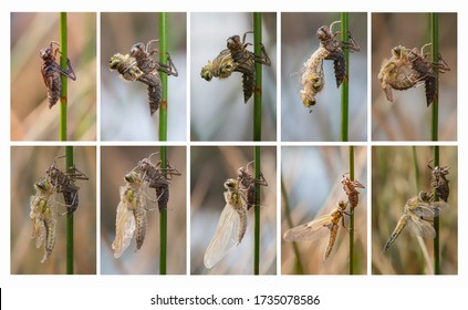 Collage of a Dragonfly metamorphosis
