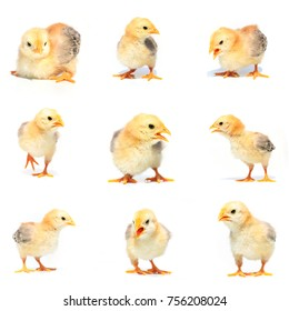 Collage of little chickens