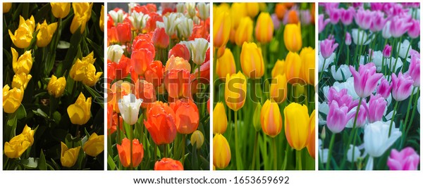 collage-many-colorful-tulips-600w-165365