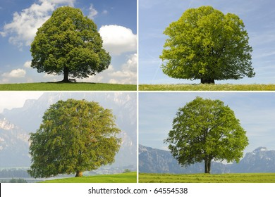 collage of oak, lime and beech single tree