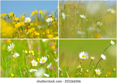 A collage of Oxeye daisy, Leucanthemum vulgare, with selective/soft focus and diffused background of spring buttercups, clover and meadow grass, The Cotswolds, Gloucestershire, UK