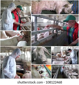 Collage of photographs showing intensive pig farming. Veterinarian at work. Animal husbandry. Farmer at work.
